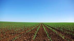 Campo de las plantas de maíz jovenes. fotografía de archivo libre de regalías