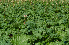 Campo de las plantas de ruibarbo listas para cosechar Imágenes de archivo libres de regalías