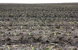 Campo de las plantas de semillero del maíz Imagen de archivo