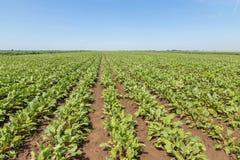 Campo de las remolachas rojas Plantas verdes jovenes de las remolachas fotos de archivo libres de regalías