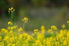 Campo de las semillas de mostaza en Cachemira, la India Imagenes de archivo