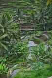 Campo de las terrazas del arroz Foto de archivo libre de regalías
