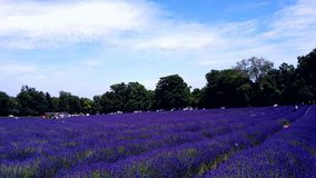 Campo de Lavander Fotos de Stock Royalty Free