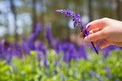 Campo de Lavendar Granja de Lavendar Mujer que sostiene una flor púrpura en un campo fotografía de archivo libre de regalías