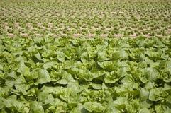 Campo de legumes com folhas Imagens de Stock Royalty Free