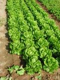 Campo de legumes com folhas Imagem de Stock Royalty Free