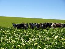 Campo de Lillie do Arum com gado de Nguni foto de stock