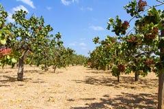 Campo de los árboles de pistacho Imagen de archivo libre de regalías