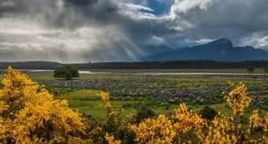 Campo de los altramuces en Nueva Zelanda. Imagen de archivo