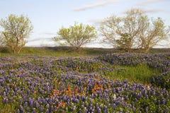 Campo de los Bluebonnets y de la brocha, camino del Mach, cerca de Ennis, Tejas imagenes de archivo