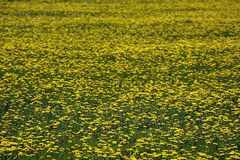Campo de los dientes de león que crecen en primavera fotos de archivo
