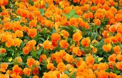 Campo de los fpansies anaranjados de la primavera imagen de archivo