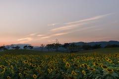 Campo de los girasoles antes de la puesta del sol Fotografía de archivo
