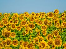 Campo de los girasoles el verano en la floración Fotografía de archivo