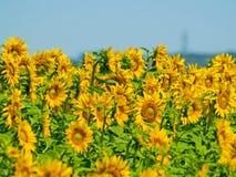 Campo de los girasoles el verano en la floración Foto de archivo libre de regalías