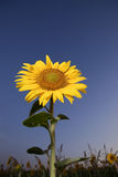 Campo de los girasoles puestos a contraluz por el sol Fotos de archivo libres de regalías