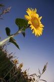 Campo de los girasoles puestos a contraluz por el sol Fotografía de archivo