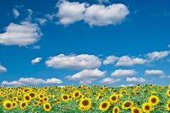campo de los girasoles y del cielo azul Imagen de archivo