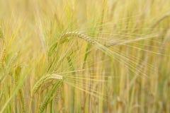 Campo de los granos de la cebada Fotografía de archivo libre de regalías