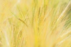 Campo de los granos de la cebada Fotos de archivo libres de regalías