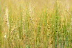 Campo de los granos de la cebada Fotografía de archivo