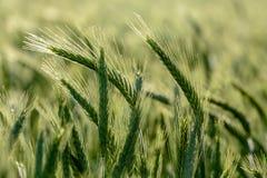 Campo de los granos de la cebada Imagenes de archivo