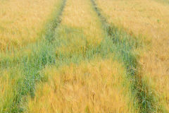 Campo de los granos de la cebada Foto de archivo libre de regalías