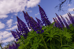 Campo de los lupines violetas grandes que desean cielo azul Fotografía de archivo libre de regalías