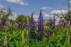 Campo de los lupines violetas grandes que desean cielo azul Foto de archivo
