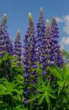 Campo de los lupines violetas que desean cielo azul, cierre para arriba Fotografía de archivo libre de regalías