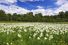 Campo de los narcisos que florecen en primavera foto de archivo