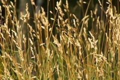 Campo de los oídos de la hierba Imágenes de archivo libres de regalías