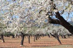 Campo de los árboles de almendra Imagenes de archivo
