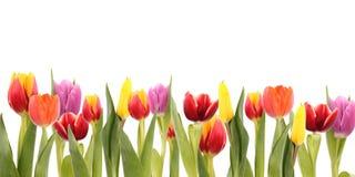 Campo de los tulipanes Imagen de archivo libre de regalías