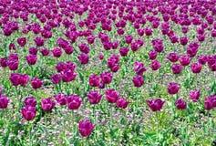 Campo de los tulipanes Foto de archivo libre de regalías