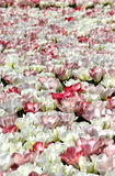 Campo de los tulipanes blancos Imagenes de archivo