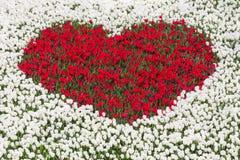 Campo de los tulipanes blancos con el corazón de tulipanes rojos Fotografía de archivo libre de regalías