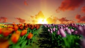 Campo de los tulipanes contra puesta del sol hermosa, mosca de la cámara encima