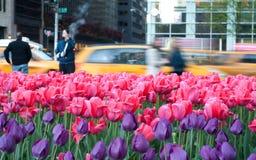 Campo de los tulipanes del color de rosa y del purtle en Manhattan Fotos de archivo