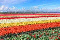 Campo de los tulipanes de Holanda foto de archivo