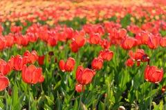 Campo de los tulipanes de la primavera Fotos de archivo