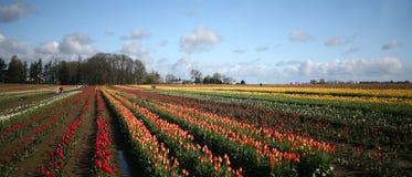 Campo de los tulipanes panorámicos Foto de archivo libre de regalías