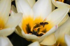 Campo de los tulipanes que vuelan la abeja Fotos de archivo