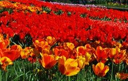 Campo de los tulipanes, tulipanes lindos Fotografía de archivo
