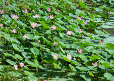 Campo de Lotus en la floración Fotos de archivo libres de regalías