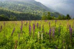 Campo de Lupines en las montañas blancas imagen de archivo