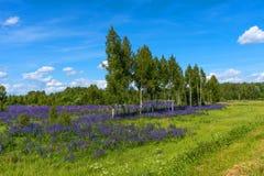 Campo de lupines florecientes púrpuras Paisaje rural hermoso con los abedules y el bosque en verano Fotos de archivo libres de regalías