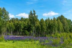 Campo de lupines florecientes púrpuras Paisaje rural hermoso con los abedules y el bosque en verano Imagenes de archivo