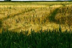 Campo de maíz #1 Imágenes de archivo libres de regalías