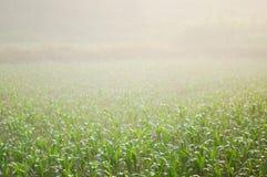Campo de maíz 12 Fotografía de archivo libre de regalías